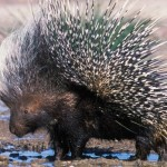 Istrice - Porcupine