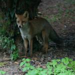 Volpe - Fox