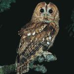 Allocco - Owl